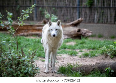 Beautiful White Polar Wolf in Zoo of Berlin, Germany