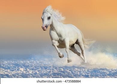 Beautiful white pony run in snow at sunset light