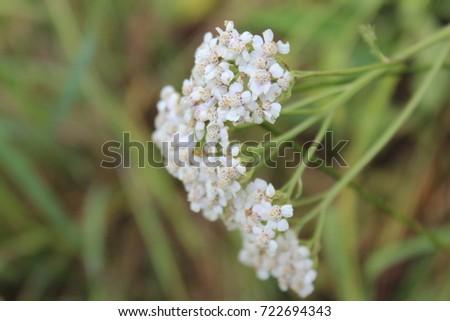 Beautiful white puffy flowers nature stock photo edit now beautiful white puffy flowers in nature mightylinksfo