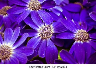 Beautiful white and purple Cineraria flowers in the garden. Close-up