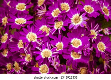 Beautiful white and purple Cineraria flowers in the garden.