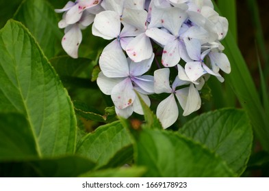 Beautiful White Purple Flowers With Green Leaves, After Rain, Background, Nature Photography