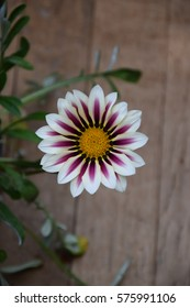 beautiful white purple  gazania flowers blooming on wood background