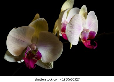 Beautiful white and purple orchid in natural light with black background.