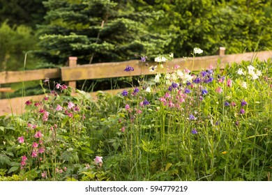 beautiful white purple and pink aquilergia columbine flower in countryside traditional natural garden with wooden fence
