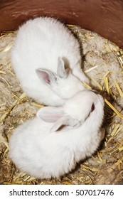 Beautiful white rabbits in container. Animal portrait. Big ears and red eyes. Animal farm. Little white bunnies.