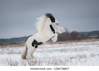 Beautiful white rearing gypsy horse with the mane flutters on wind on the snow-covered field in the winter