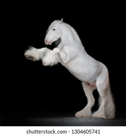 Beautiful white rearing gypsy horse on black background isolated, full body portrait.