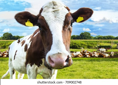 beautiful white red-haired young cow on pasture looking at camera
