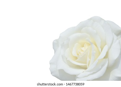 Beautiful white rose as background