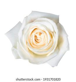 Beautiful white rose bud isolated on white background.