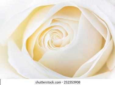 beautiful white rose close up image
