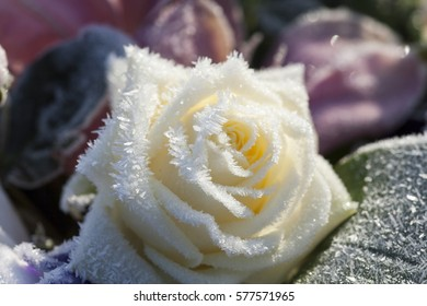 Beautiful white rose covered with frost/Frosty white rose