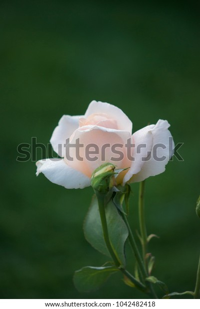 beautiful white rose in drops of dew