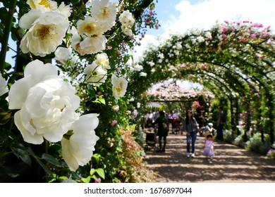 日本・神奈川の横浜英語庭園で満開の美しい白バラの花が前景に限定された