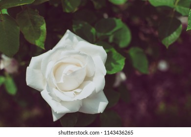 Beautiful white rose in garden