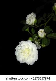 Beautiful White Rose wallpepar