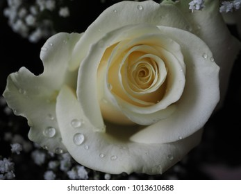Beautiful White Rose Water Droplets