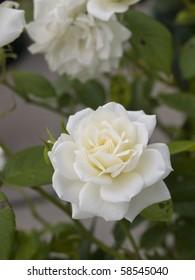 Beautiful white roses in full bloom.