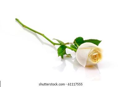 Beautiful white roses reflection on white background