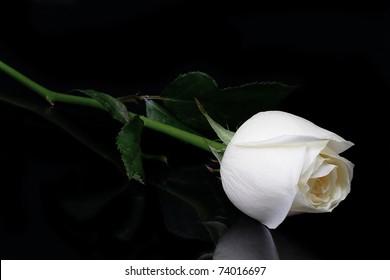 Beautiful white roses reflection on black background