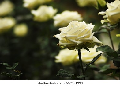 Beautiful white roses in tropical garden with soft green background and shallow depth of field.