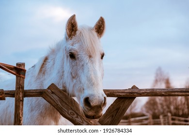 Beautiful white rural horse eats hay behind a wooden fence on blue sky