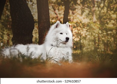 Beautiful white Samoyed breed dog lying in a summer forest