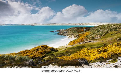 Beautiful white sand beach and turquoise water of Gypsy Cove on East Falkland in Falkland Islands. Land mine area from Falklands War. Yellow gorse flowers.