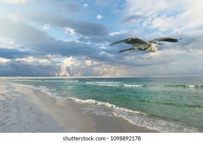 Beautiful White Sand Florida Beach at Sunrise as a Great Blue Heron Flies By