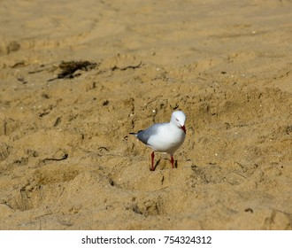 A  beautiful white seagull of the family Laridae in  sub-order Lari  is searching for worms on the basaltic rocky shore at Ocean Beach in Bunbury Western Australia on a  sunny afternoon in mid-winter.