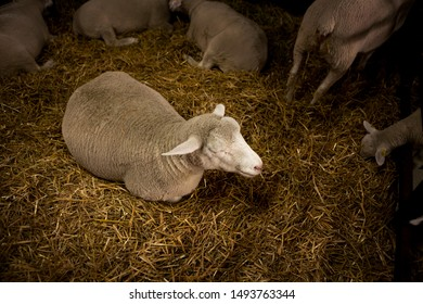 A beautiful white sheep lays on a straw in a barn while it is surrounded by other sheep.