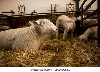 A beautiful white sheep lays on the straw and thinking while surrounded by other sheep in the barn.