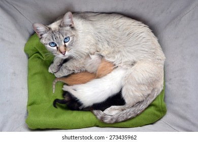 Beautiful white Siamese cat nursing litter of tiny newborns kittens, assorted colors