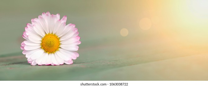 Beautiful white spring daisy flower - web banner with blank, copy space
