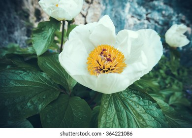 Beautiful White Spring Flower growing in Mountains
