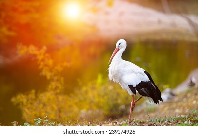 Beautiful white stork