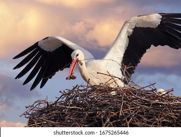 Beautiful white stork (Ciconia ciconia) bringing branches to the nest. Big migratory bird from Africa spending the winter in Lugo, Galicia, Spain. Colorful wild bird background. Stork building nest.
