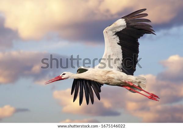 beautiful-white-stork-ciconia-flight-600