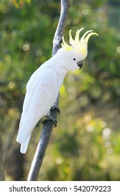 Beautiful White Sulfer Crested Cockatoo perched on a Tree Branch