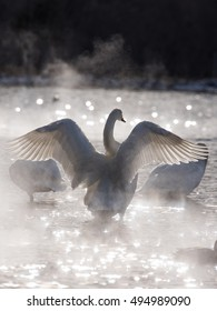 A beautiful white swan bathing in warm hot spring water in winter. The birds come to this lake in eastern Hokkaido from Russia every year during winter.