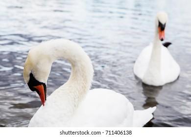 Beautiful white swan with the family in swan lake, romance, seasonal postcard. Swan family, swan love.