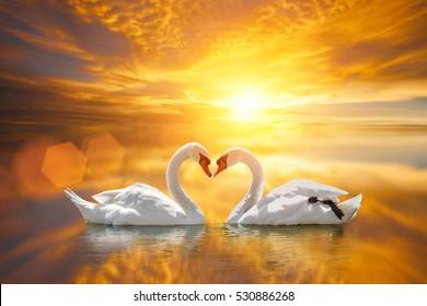 beautiful White swan in heart shape on lake sunset .Love bird concept.couple in love.