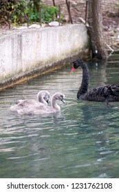 A beautiful white Swan with her offspring swim in the pond.