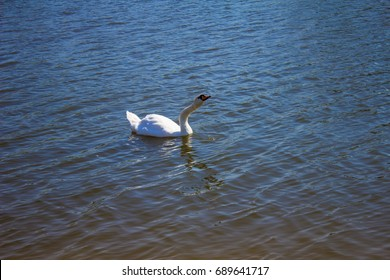 A beautiful white swan in the lake.