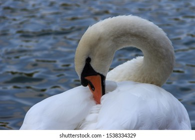 Beautiful white swan on a background of water on the Patriarch's Ponds in Moscow.