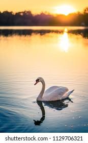 Beautiful white swan on the lake