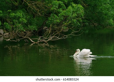 Beautiful white swan in a pond, lake, loch, river.