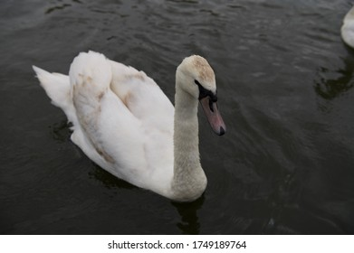 Beautiful white swan in the river