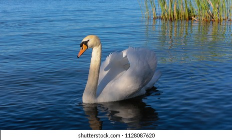 Beautiful White Swan and its Shade on the Lake in Italy